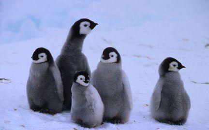 Baby Christmas present ideas: World Wildlife Fund | adopt a penguin chick